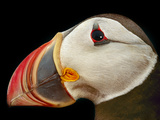 Atlantic Puffin Male  Fratercula Arctica  Norway
