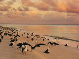 Laysan Albatross Juveniles on the Beach  Phoebastria Immutabilis  Midway Atoll  Hawaiian Leeward Is