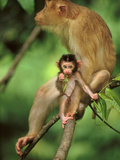Pig-Tailed Macaque Mother and Infant  Macaca Nemestrina  Bako National Park  Borneo