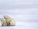 Polar Bear Mother and Cubs  Ursus Maritimus  Hudson Bay  Canada