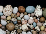 Bird Egg Diversity  Western Foundation of Vertebrate Zoology  Los Angeles  California