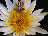 Reed Frog  Hyperolius Sp  in Water Lily  Okavango Delta  Botswana