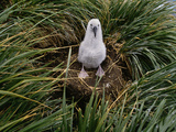 Black-Browed Albatross Chick on Nest  Thalassarche Melanophrys  Falkland Islands