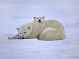 Polar Bear Mother and Cub  Ursus Maritimus  Hudson Bay  Canada