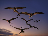 Magnificent Frigate Birds in Flight  Fregata Magnificens  Galapagos Islands
