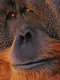 Bornean Orangutan  Pongo Pygmaeus  Sabah  Borneo