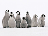 Emperor Penguin Chicks  Aptenodytes Forsteri  Weddell Sea  Antarctica