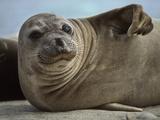Northern Elephant Seal Pup  Mirounga Angustirostris  Ano Nuevo State Reserve  California