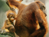 Bornean Orangutan Mother and Young  Pongo Pygmaeus  Sepilok Reserve  Sabah  Borneo