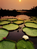 Giant Water Lilies at Sunset  Victoria Regia  Paraguay River  Pantanal  Brazil