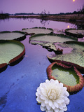 Giant Water Lily  Victoria Regia  Paraguay River  Pantanal  Brazil
