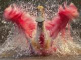 Roseate Spoonbill Bathing  Platalea Ajaja  Pantanal  Brazil