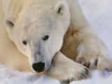 Polar Bear Resting  Ursus Maritimus  Hudson Bay  Canada