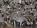 Zebras Drinking  Equus Quagga  Chobe National Park  Botswana