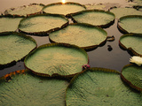 Giant Water Lilies  Victoria Regia  Paraguay River  Pantanal  Brazil