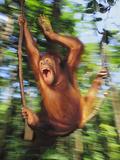 Orangutan Juvenile Swinging  Pongo Pygmaeus  Sepilok Reserve  Sabah  Borneo