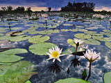 Water Lilies in Lagoon  Okavango Delta  Botswana