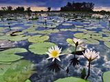 Water Lilies in Lagoon  Okavango Delta  Botswana