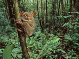 Western Tarsier Clinging to Tree  Tarsius Bancanus  Sabah  Borneo