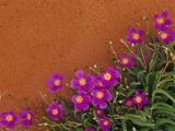 Wildflowers  Central Desert  Australia