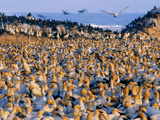 Cape Gannet Colony  Morus Capensis  Lambert&#39;s Bay  South Africa