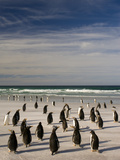 Gentoo Penguins on Beach  Pygoscelis Papua  Falkland Islands
