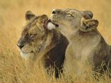 Lionesses Grooming  Panthera Leo  Chobe National Park  Botswana