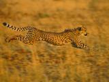 Cheetah Running  Acinonyx Jubatus  Namibia