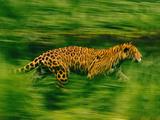 Jaguar Running  Panthera Onca  Brazil
