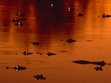 Yacare Caimans at Twilight  Caiman Yacare  Pantanal  Brazil