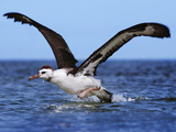 Laysan Albatross Juvenile Taking Off from Water  Phoebastria Immutabilis  Hawaiian Leeward Islands