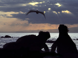 Marine Iguanas  Amblyrhynchus Cristatus  and Brown Pelican  Pelecanus Occidentalis  Galapagos Is