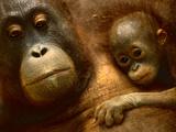 Bornean Orangutan Mother and Baby  Pongo Pygmaeus  Sepilok Reserve  Sabah  Borneo