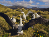 Southern Royal Albatrosses Courting  Diomedea Epomophora  Campbell Island  New Zealand