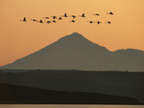 Whistling Swans Flying Near Mt Shasta  Cygnus Columbianus  Klamath Basin Nat'l Wildlife Refuge  CA