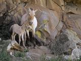 Takhi Mare with Foal  Equus Caballus Przewalskii  Hustain Nuruu National Park  Mongolia