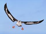 Laysan Albatross Landing  Phoebastria Immutabilis  Hawaiian Leeward Islands