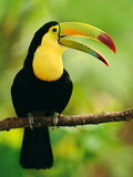 Keel-Billed Toucan  Ramphastos Sulfuratus  Belize