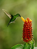 Green-Crowned Brilliant Hummingbird  Heliodoxa Jacula  Monteverde Cloud Forest Reserve  Costa Rica