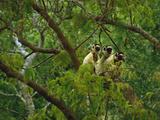 Verreaux's Sifakas in Trees  Propithecus Verreauxi  Berenty Reserve  Madagascar