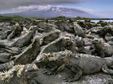 Marine Iguanas  Amblyrhynchus Cristatus  Fernandina Island  Galapagos Islands