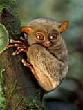 Western Tarsier  Tarsius Bancanus  Sabah  Borneo