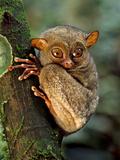 Western Tarsier  Tarsius Bancanus  Sabah  Borneo