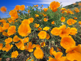 California Poppies  Eschscholzia Californica  Big Sur  California