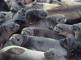 Northern Elephant Seal Pups  Mirounga Angustirostris  Ano Nuevo State Reserve  California