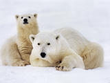 Polar Bear with Cub  Ursus Maritimus  Hudson Bay  Canada