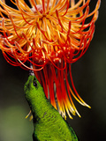 Malachite Sunbird  Nectarinia Famosa  Feeding on Protea Flower  Leucospermum Reflexum  South Africa