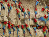Red-And-Green Macaws at Clay Lick  Ara Chloroptera  Manu National Park  Peru
