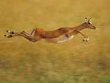 Impala Leaping  Aepyceros Melampus  Masai Mara Reserve  Kenya