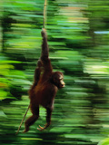 Bornean Orangutan Swinging on Vine  Pongo Pygmaeus  Sepilok Reserve  Sabah  Borneo